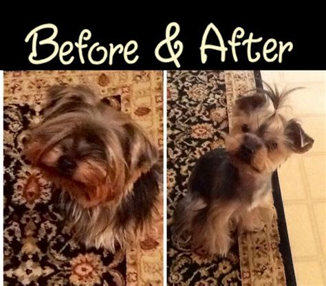 before and after pics of yorkie haircuts yorkie haircut before after george sissie pinterest