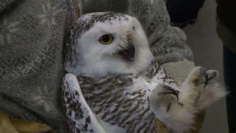 amazoncom snowy owl helps emaciated dying snowy owl take wing once again
