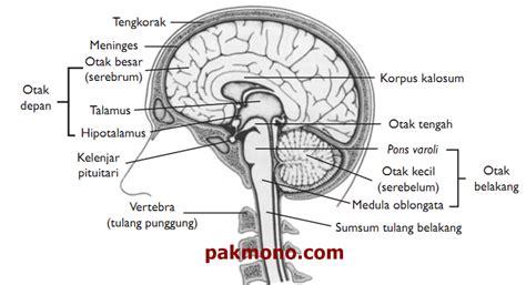 fungsi otak otak depan otak tengah otak belakang dan pons varoli