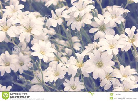 fiori bianchi piccoli piccoli fiori bianchi fotografia stock immagine 41245131