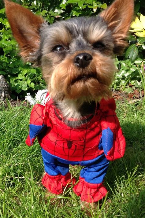yorkie costumes 1000 images about yorkies in costumes on pets puppys and yorkies