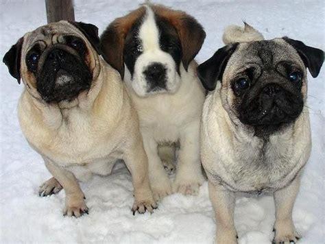 st bernard and pug pugs st bernard best friends animals ii