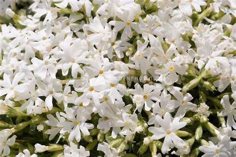 phlox subulata snowflake plant flower stock photography gardenphotos com