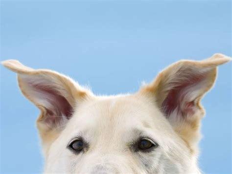 prurito interno orecchie orecchio cura cani