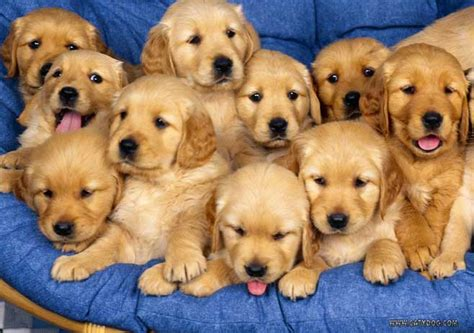 cheapest puppies cheap golden retriever puppies for sale perth dogs in our photo