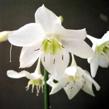 amazon lily eucharis bulbs  sale easy  grow bulbs