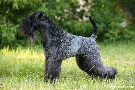 kerry blue terrier puppies kerry blue terrier2 jpg kerry blue terrier breeds
