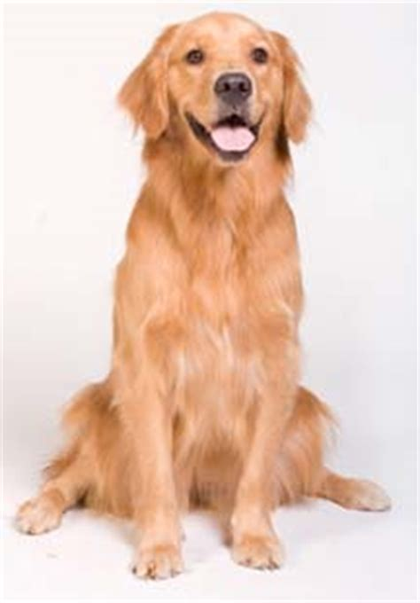 how many golden retrievers are there in the world what makes this food the clear choice healthy for