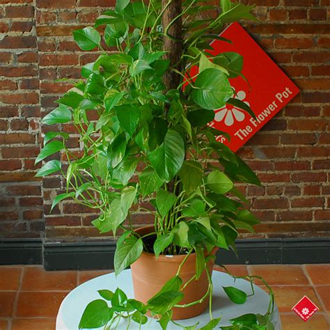 climbing pot plants order plants for montreal plant delivery 183 the