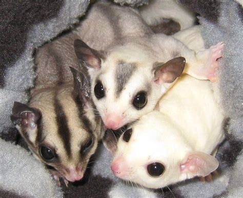 38 best images about sugar glider on pinterest sugar glider care little ones and for sale