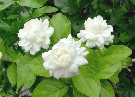 Fragrant Jasmine Plants - mali my thai nickname gadabout gal