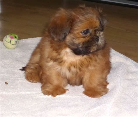 shih tzu imperial for sale imperial shih tzu puppy for sale gloucester gloucestershire pets4homes