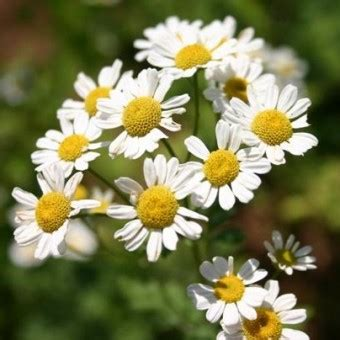 bibit german chamomile