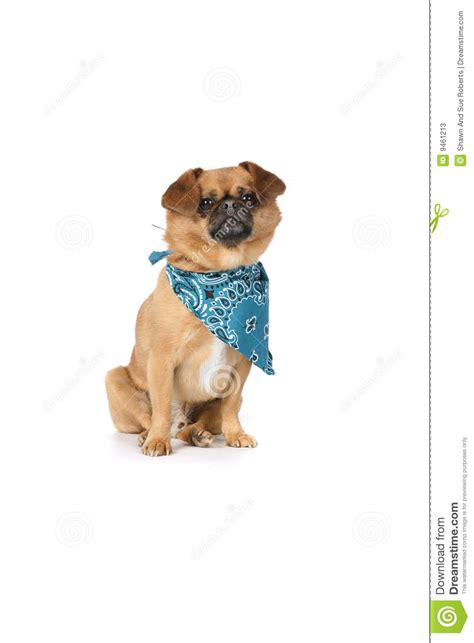 dogs with short floppy ears small tan dog with floppy ears and a blue scarf stock