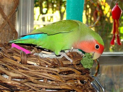 bird pictures peach faced lovebird agapornis roseicollis