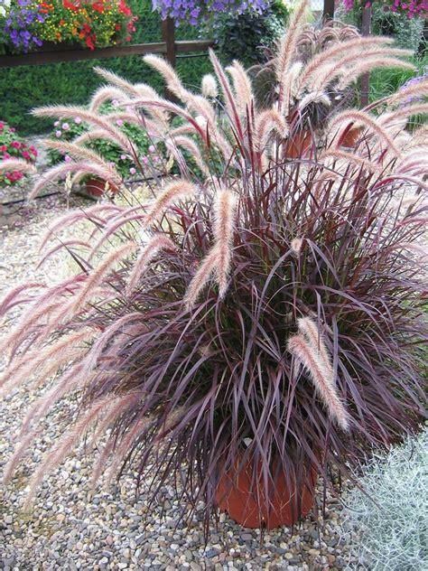 pennisetum rubrum www imgkid com the image kid has it