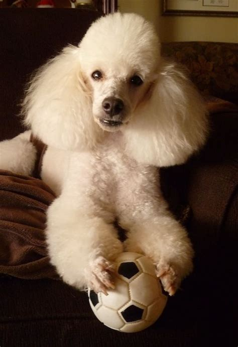 poodle with plain hair cut 12 best maltipoo hair cuts images on pinterest dog dogs