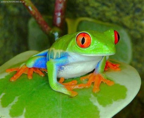 imagenes de ranitas verdes lista las ranas m 193 s bonitas