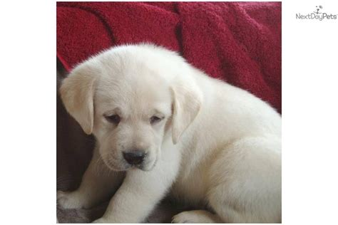 blockhead lab puppies for sale blockhead labrador puppies for sale breeds picture