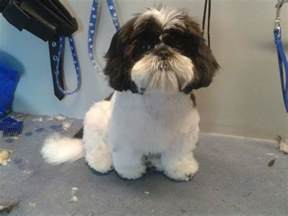 elite shih tzu teddy cut for shih tzu shih tzu shih tzu teddy bears and