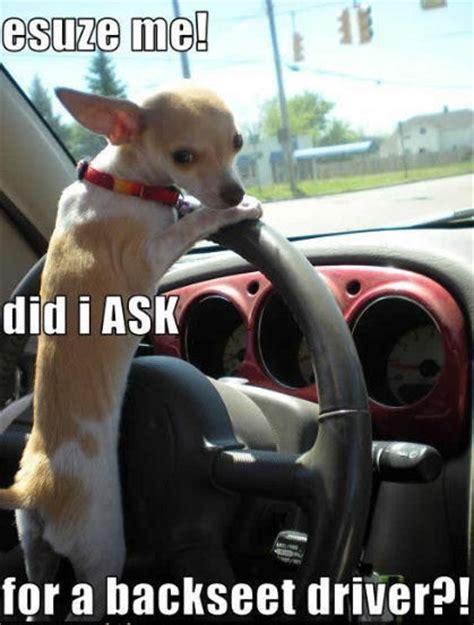 Funny Chihuahua Memes - funny great dane memes memes