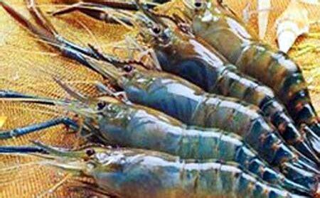 Bibit Udang Raksasa 7 cara budidaya udang air tawar di aquarium yang pasti