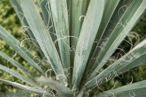 yucca teilen 187 so vermehren sie ihre palmlilie - Garten Yucca Teilen