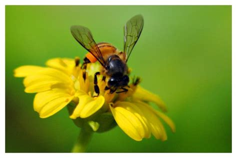 Minyak Tawon Ukuran Kecil dodi rang mobil tawon