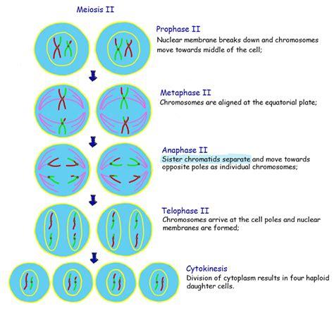 Meiosis 2 Diagram meiosis