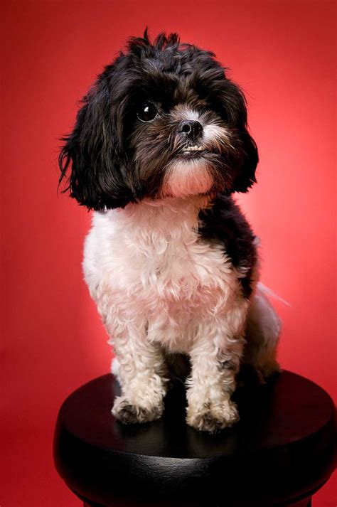what to do about separation anxiety in shih tzu shih poo breed 187 everything about shih poos