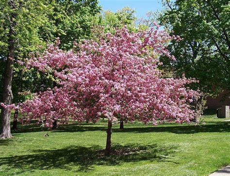 1 mazzard cherry dwarf 18 24 inch tree sweet fruit flowering fruit tree ebay