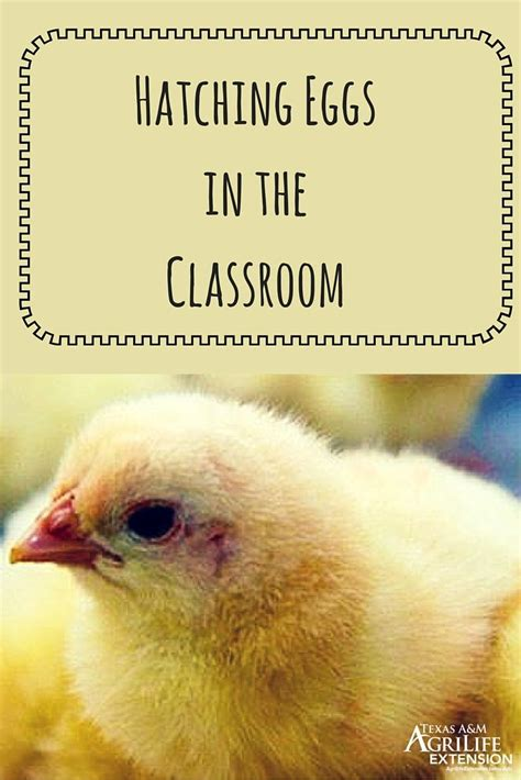 hatching eggs in the classroom a guide for teachers