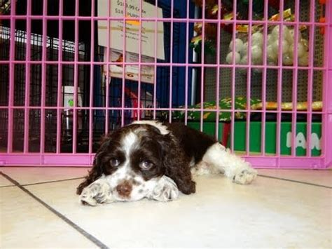 cocker spaniel puppies nc cocker spaniel puppies dogs for sale in carolina nc greensboro