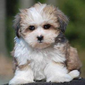 Psi Teddy Bears best 25 teddy puppies ideas on teddy