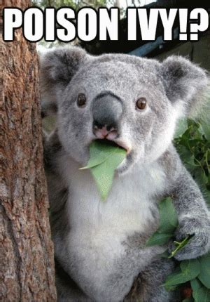 Poison Ivy Meme - koala bear meme kappit