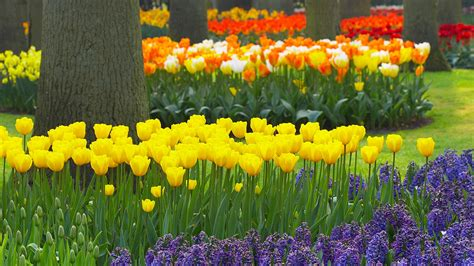 spring flower garden download background spring garden keukenhof gardens lisse holland free cool backgrounds