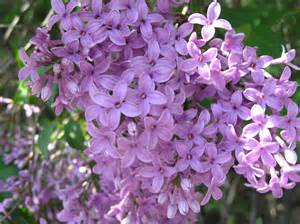 lilac lilac flowers