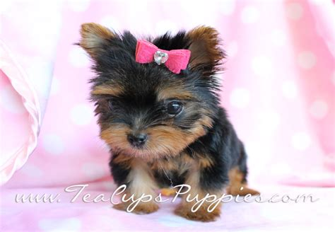 free teacup yorkies puppies yorkie puppies wallpaper wallpapersafari