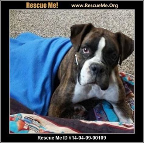 dogs for adoption in iowa rescue me id 14 04 09 00109 maxx boxer age compatibility not with