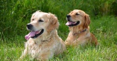 welche teppiche sind für hunde geeignet hunderassen f 252 r anf 228 nger welche hunde sind f 252 r anf 228 nger