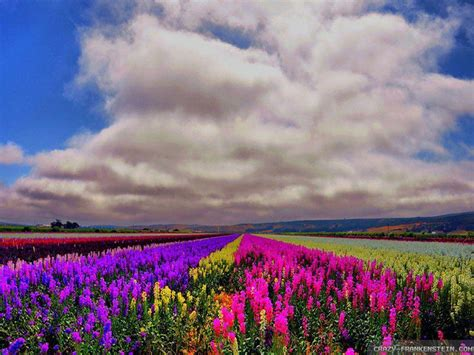 wallpaper flower field field of flowers wallpapers wallpaper cave