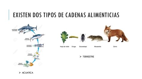 clases de cadenas alimenticias acuaticas las cadenas alimenticias