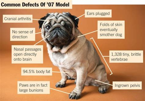 pugs and seizures breeders issue recall of 07 pugs