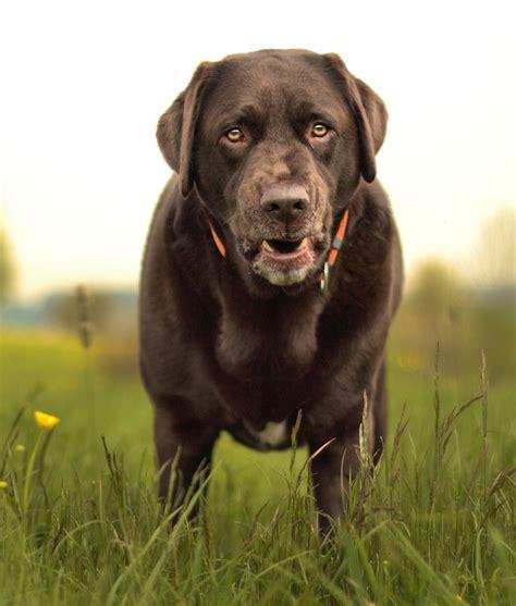 average lifespan average lifespan of a chocolate labrador retriever 1001doggy