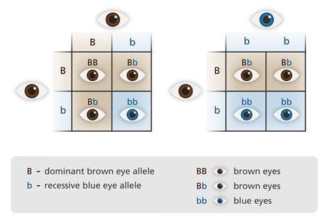 punnett square for eye color the gallery for gt mendel genetics eye color