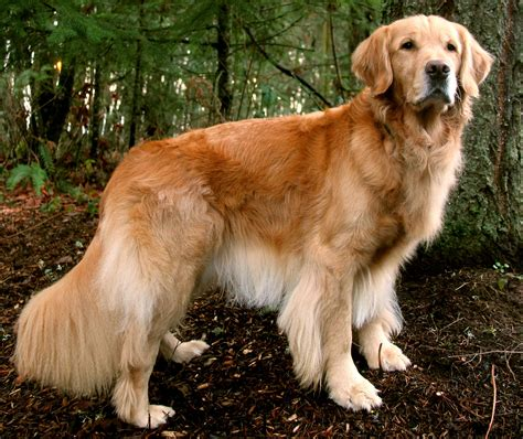you golden retriever quiz how well do you golden retrievers
