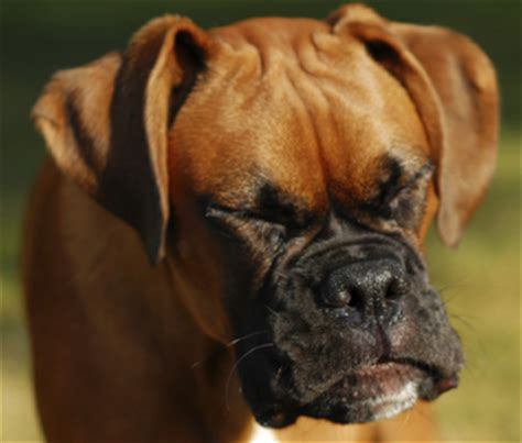 dogs sneezing learn about sneezing in dogs and what it means