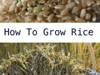 1000 images about growing rice on how to grow