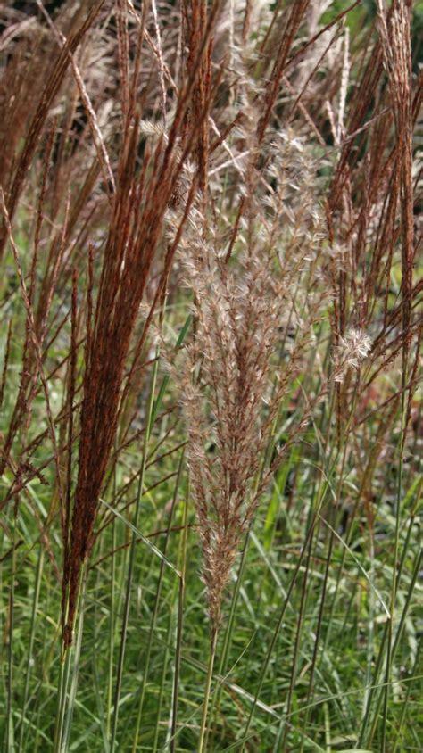 Hohe Sichtschutz Pflanzen 794 by Miscanthus Sinensis Ferner Osten Gr 228 Ser Pflanzen