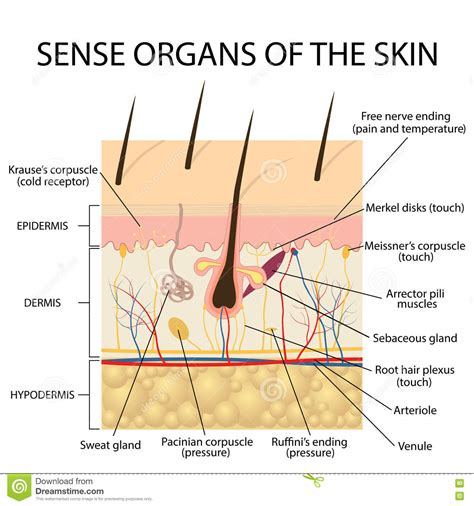 cross section of human skin human skin cross section www pixshark com images